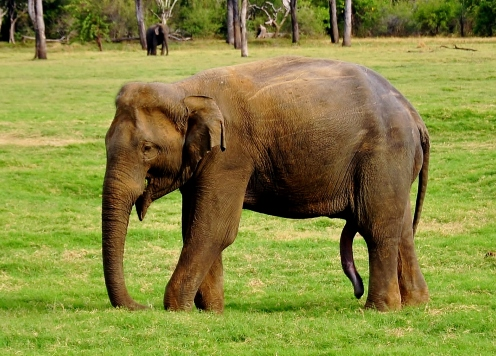 This elephant has 5 legs