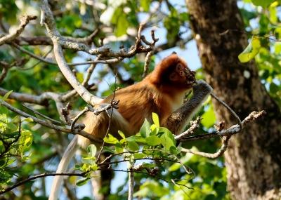 Baby Proboscis Monkey