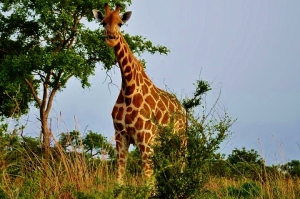 Giraffe at Waza National Park