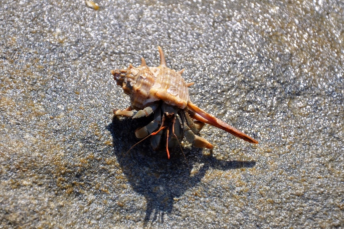 This beach crab is more stylish than the jungle crab